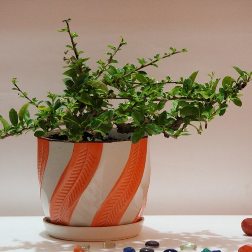 Well Known Pots & Plants, Rare Horizontal Cascade Fukien Tea/carmona Bonsai Tree, 6  Years Old For Carmon Ceramic Garden Tool (View 20 of 20)