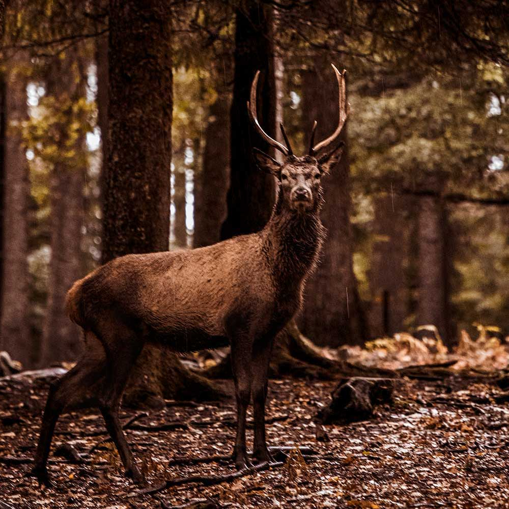 The Bellowing Deer Of The Ardennes: A Unique Autumn Weekend Inside Most Recent Deer Trail Armchairs (View 17 of 20)